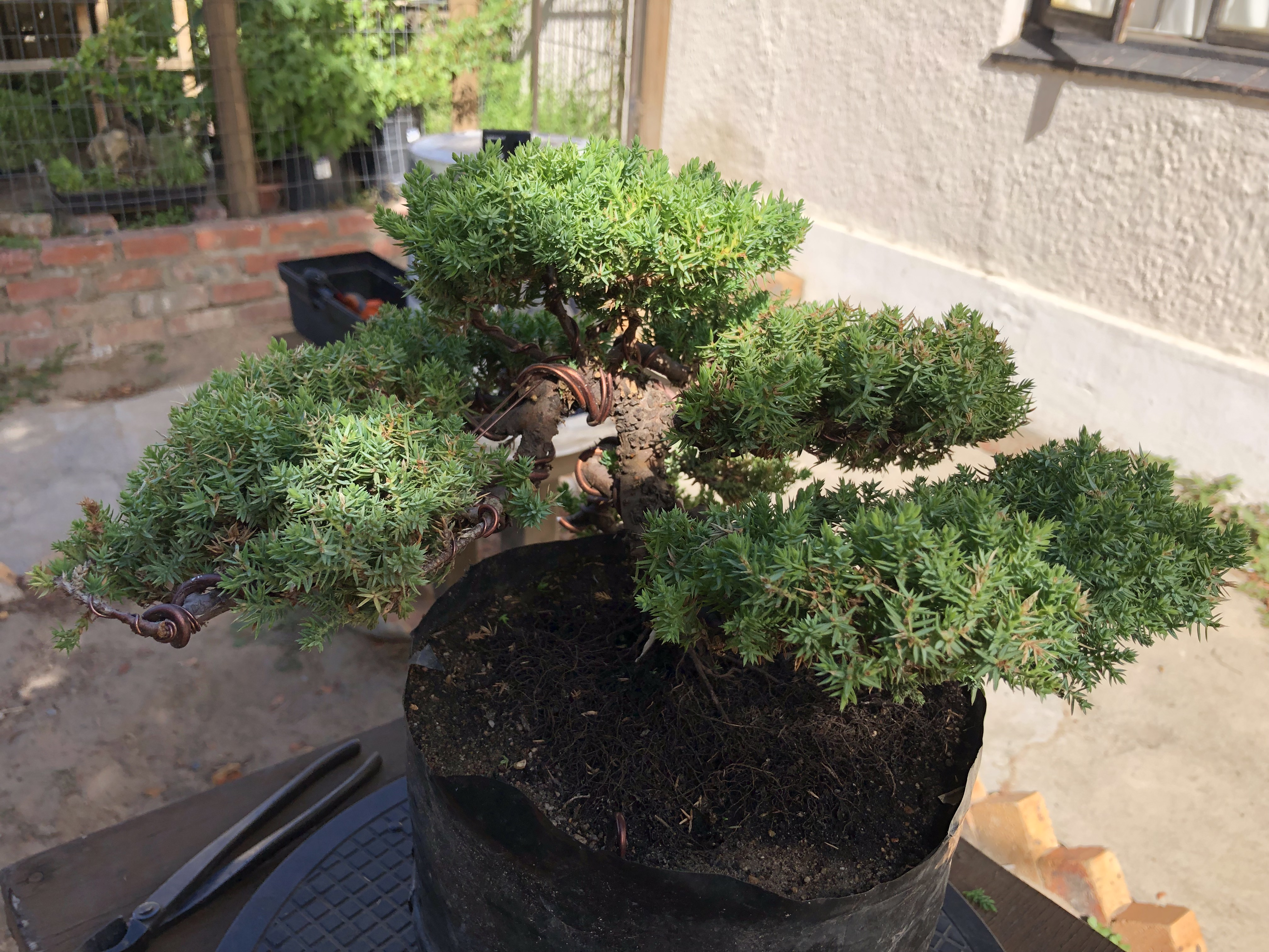 I Have A Bonsai Tree How Do I Keep It In Shape Here Are A Few Basic Steps To Keep Your Bonsai In Good Shape Bonsaiwithromano